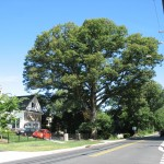 Giant White Oak on Beulah Road in Vienna
