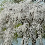 Yoshino Cherry Blossom Washington DC