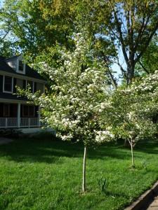 Native Tree Virginia Southern Hawthorne