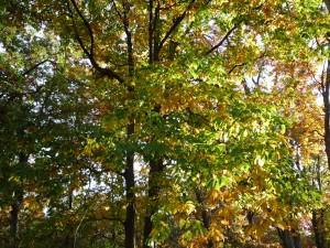 Vienna Virginia Fall Trees Oak in Autumn